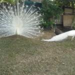 peacock4
